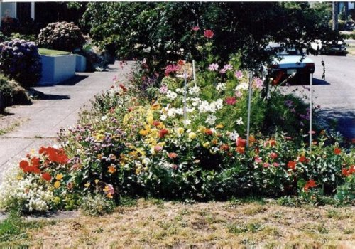 Parking strip, August 88 with geraniums, statice, gloriosa daisies, zinnias, dahlias, nasturtiums, cosmos.