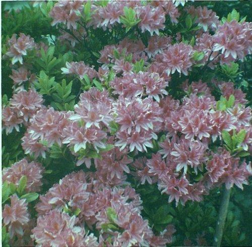 azaleas in front garden, mid 1960s