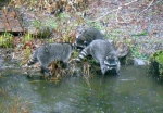 three raccoons in pond