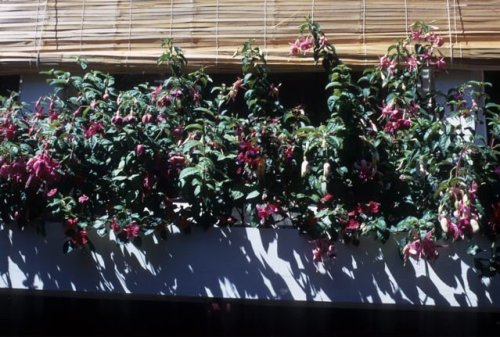 fuchsia windowbox