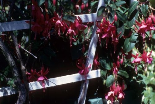 "To anyone who visited, she offered ""slips"" (cuttings) of her fuchsias."