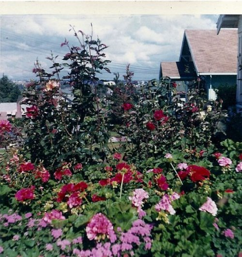 looking down the hill from the path of lawn...Gram grew a neat patch of pink and red geraniums backed with a line of roses. I often wish she had been alive during our present day richness of plant selection. mid 60s.