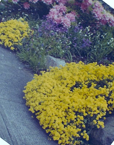 "the rockery in bloom, mid 60s. Lots of Seattle rockeries featured this ""basket of gold"" and purple aubretia."