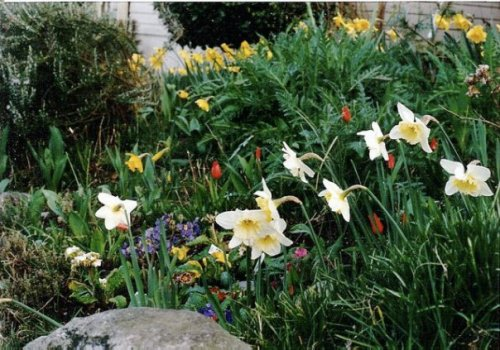 April 1988, rockery (bank of garden in front of the house by the sidewalk; my grandma had made it, including acquisition of the big rocks).  I had changed it from annuals to perennials.