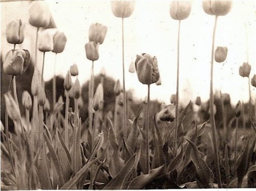 tulips in my grandmother's garden; photo probably by her grandson, John, or perhaps by her son, Al.