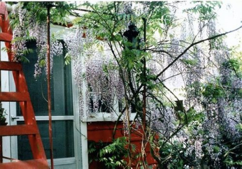 wisteria off the back porch