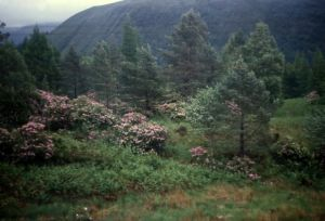 Scottish rhodos