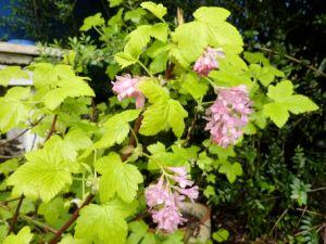 Ribes brocklebankii