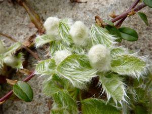 Salix yezo-alpina (nakamurana) - Dwarf Japanese Willow