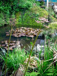 pond with Darmera Peltata flowers