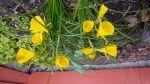 yellow hoop petticoats