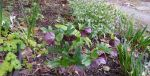 Anchorage Hellebore