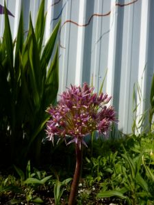 miraculous Allium