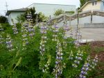 lupines, Discovery Garden, Ilwaco