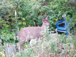 deer in our garden
