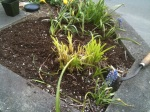 trashed daylily in Long Beach planter