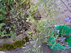 sad catmint in Ilwaco planter