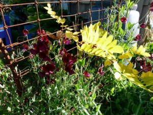 sweet peas and a baby Robinia