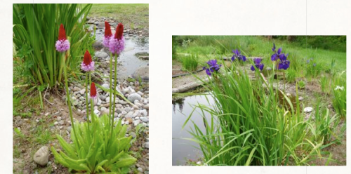 Primula vialii and Iris sibirica along the stream