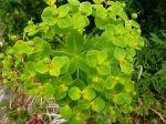 some sort of Euphorbia,8-2