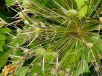 Allium albopilosum, 8-2