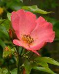 Rosa mutabilis, 8-2