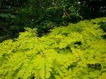 Robinia pseudoacacia 'Frisia' 8-2