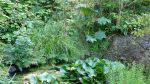 gunnera behind the pond,8-9