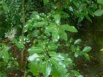 Salix magnifica, 8-10