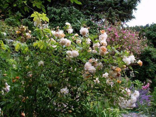 Ghilsane de Feligonde and Rosa palustris