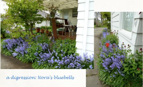 Nora's bluebells