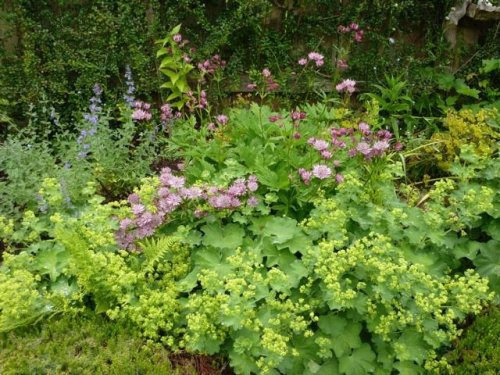 Lady's Mantle and Astrantia