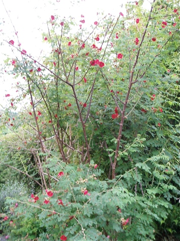 Rosa moyesii 'Geranium';  Reader, I bought one.