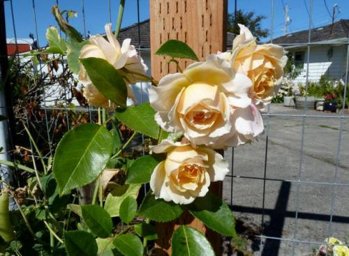 2 September, a glorious new rose from Heirloom Roses