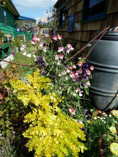2 September, sweet peas and Robinia pseudo acacia 'Frisia'
