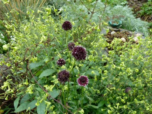 a black Scabiosa that I grew from seed, 20 October