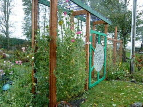 sweet peas still blooming on the deer fence, 15 October