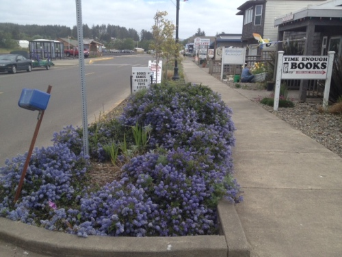 Time Enough books garden, looking east, Ceanothus in bloom