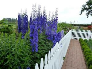 magnificent delphiniums