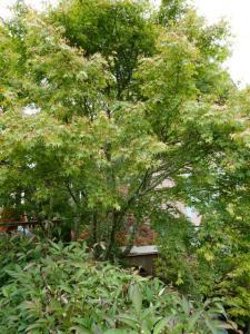 large maple