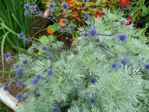 Artemisia 'Powis Castle' with Eryngium