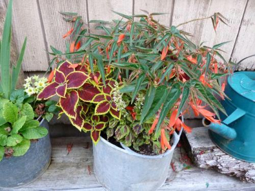 begonia and coleus