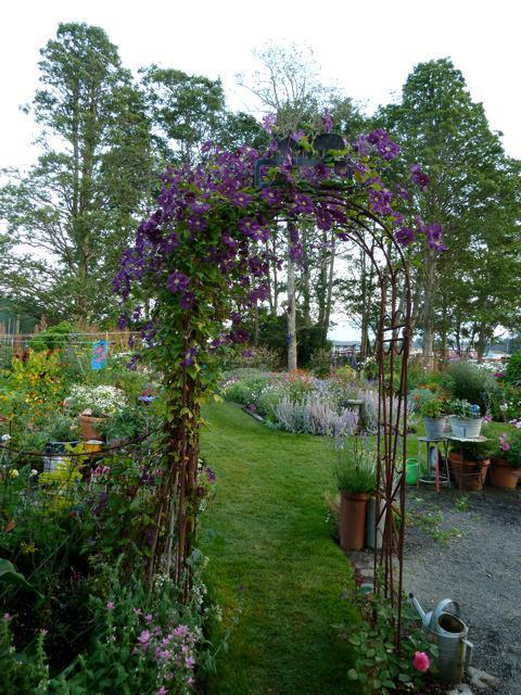 Clematis 'Etoile de Violette'