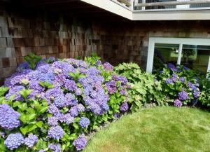 hydrangeas in a northeast facing nook