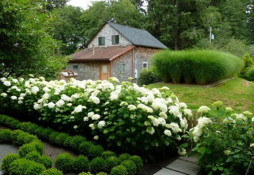 white Hydrangeas, Miscanthus