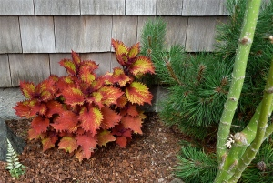 side garden detail with coleus
