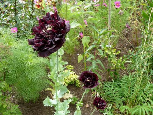 Papaver paeoniflorum