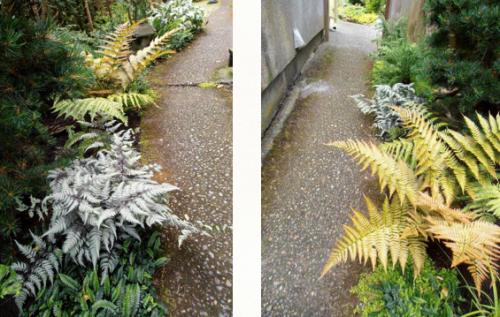 ferns, two views