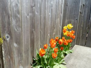 tulips by the back gate