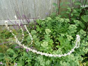 The fallen verbascum in the side garden looked like a string of beads.